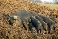 mum with pigs